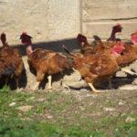 poules-cou-nu