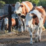 vaches-montbeliardes